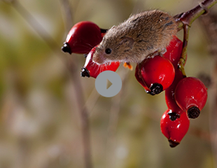 Harvest-Mouse-Stone