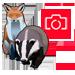 Badger-Fox-Cam