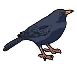 blackbirdmale