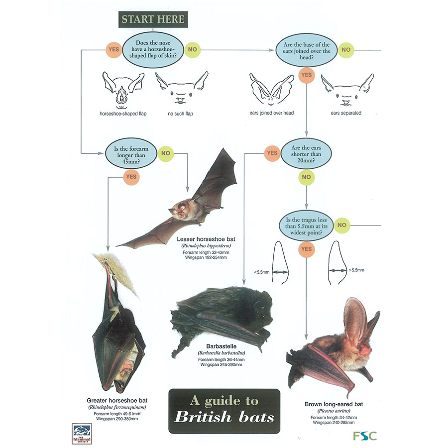 Field Guide – British Bats