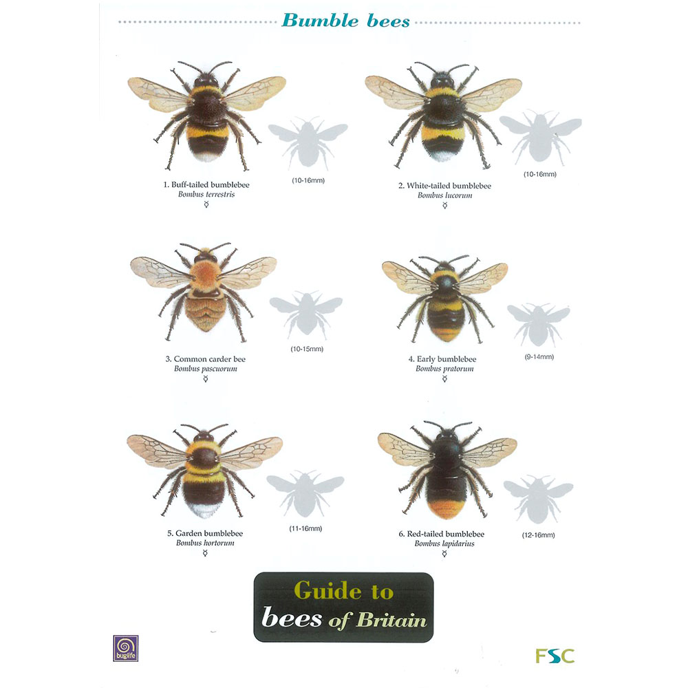 Field Guide – Bees Of Britain