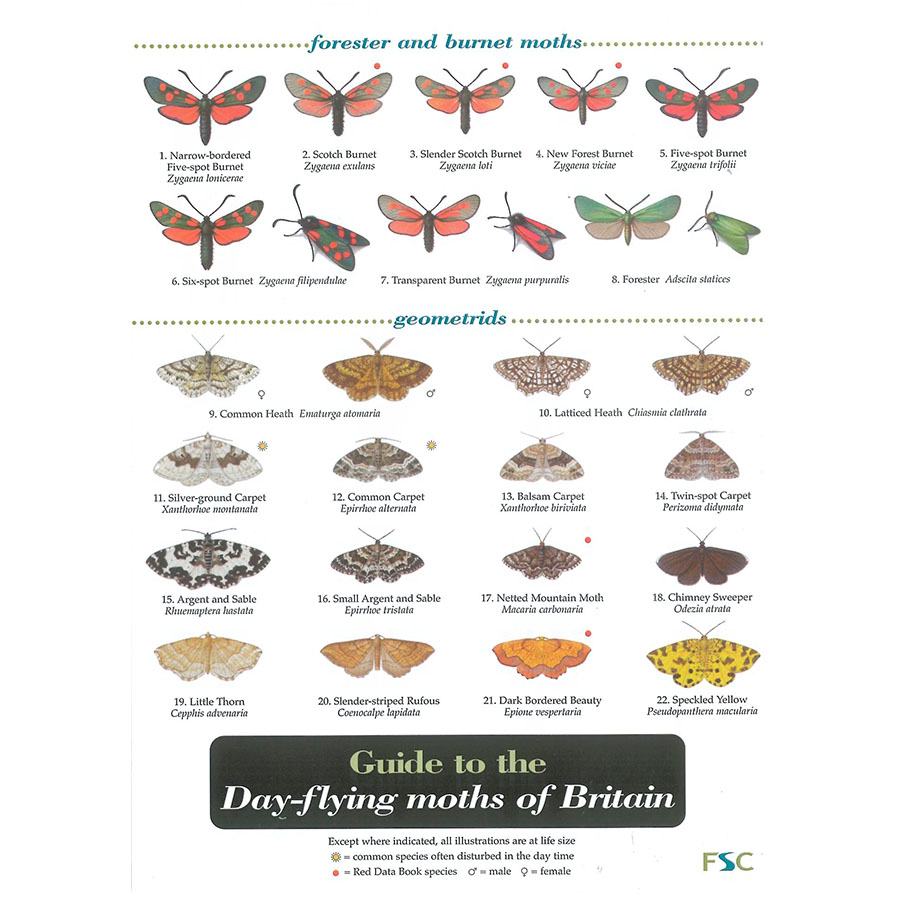 Field Guide – Day Flying Moths