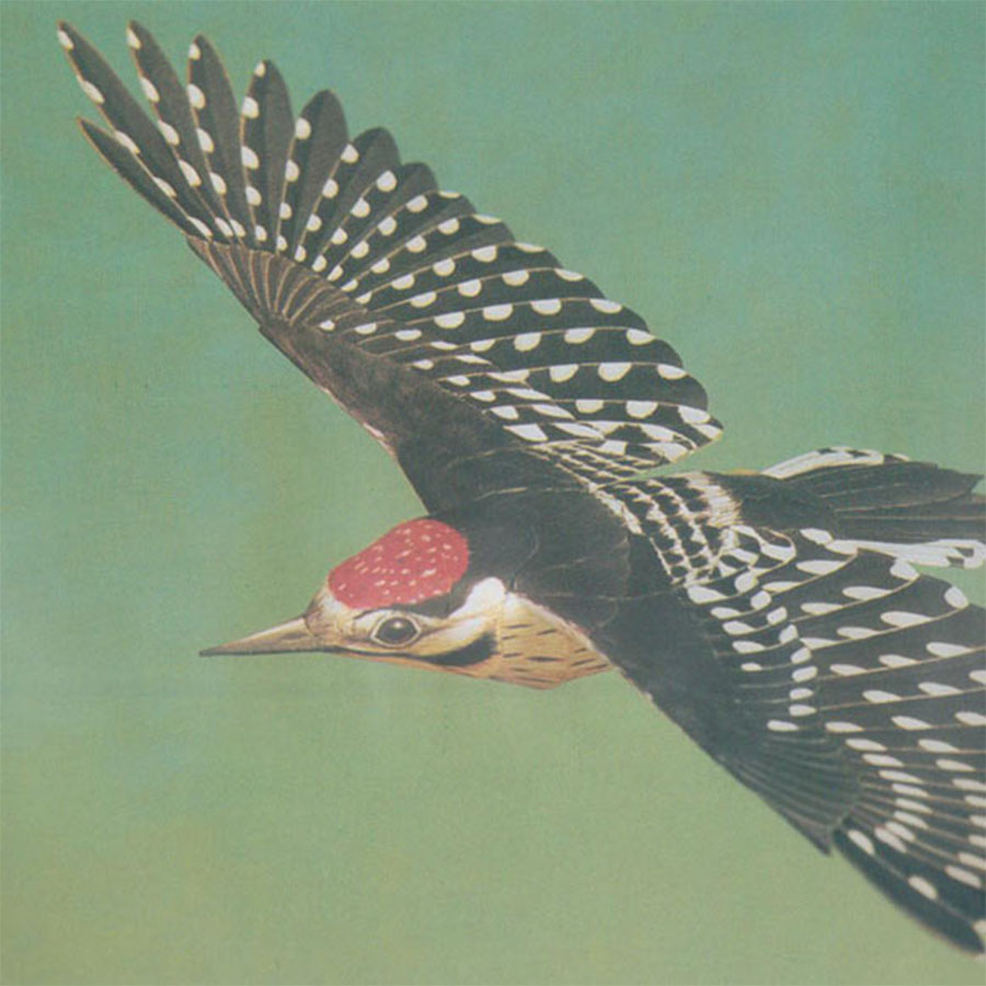 Flying Woodpecker Model