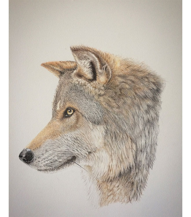 Wolf  – Coloured Pencil Drawing