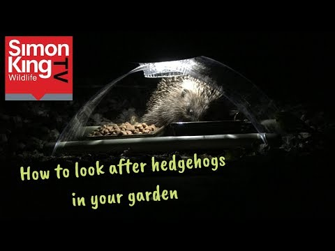 How to care for and attract hedgehogs into your garden