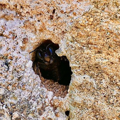 solitary bee in a wall