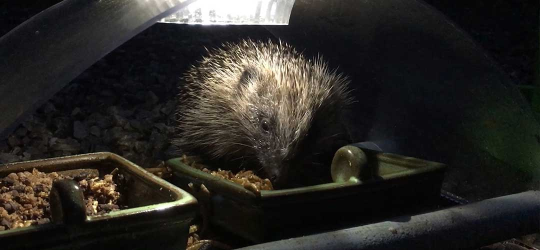 a hedgehog eating from a bowl in the garden