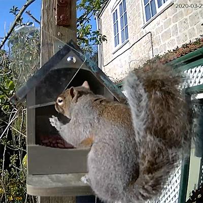 grey squirrel at feeder
