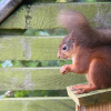 red squirrel sat on a feeding box eating