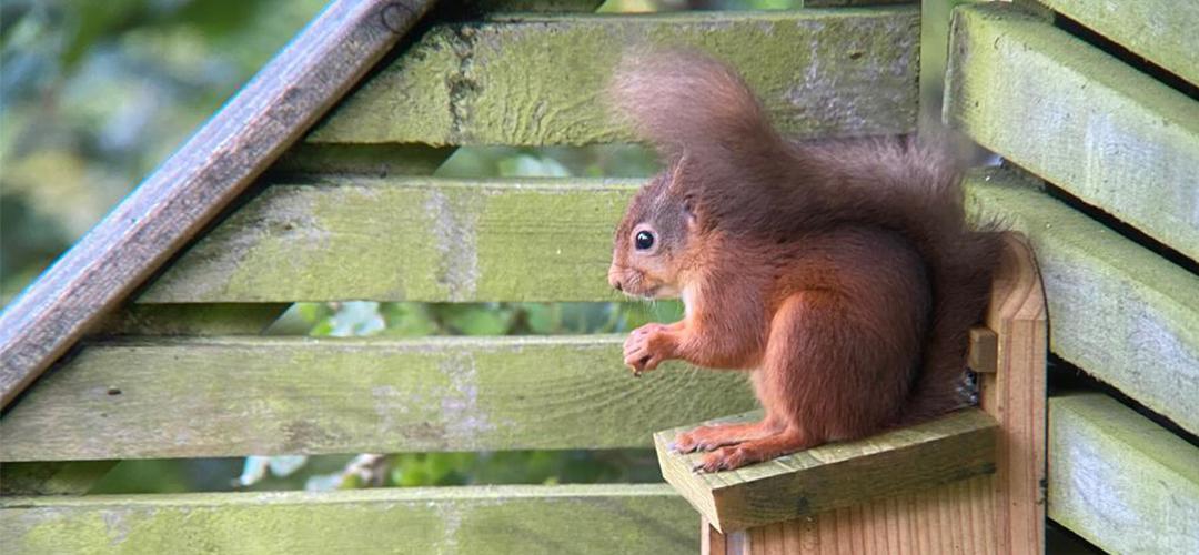 red squirrel sat on a feeding box eating