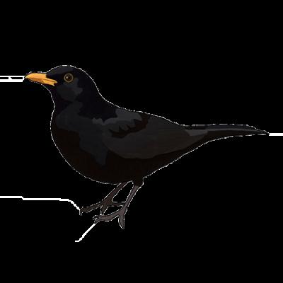 blackbird drawing