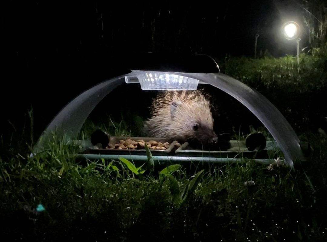 hedgehog feeding at night