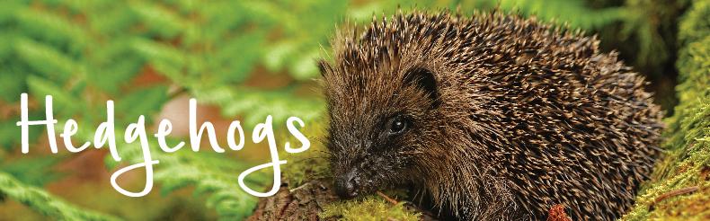 shop hedgehog products