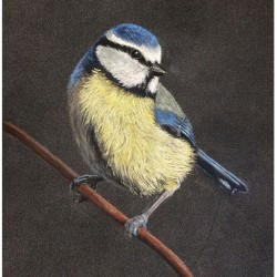 Blue Tit Pastel Drawing