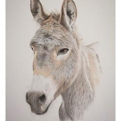 Donkey – Coloured Pencil Drawing
