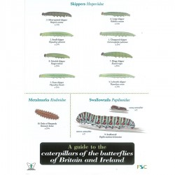 Field Guide – Caterpillars