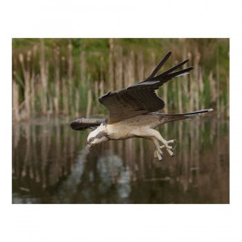 Flying Osprey Mobile