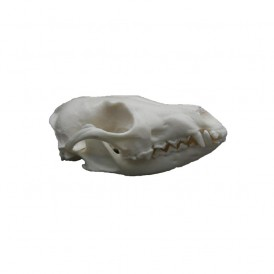 Replica Fox Skull