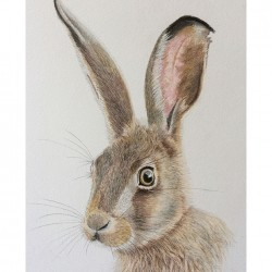 Hare – Coloured Pencil Drawing