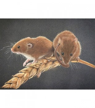 Harvest Mice On Corn