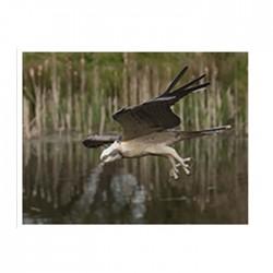Flying Osprey – Life Size