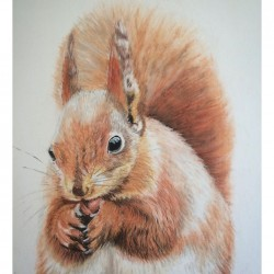 Red Squirrel Pastel Drawing