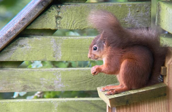 Squirrels – Britain's natural tree planters