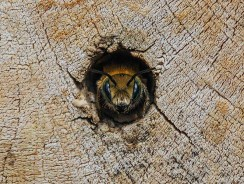 What are Solitary Bees?